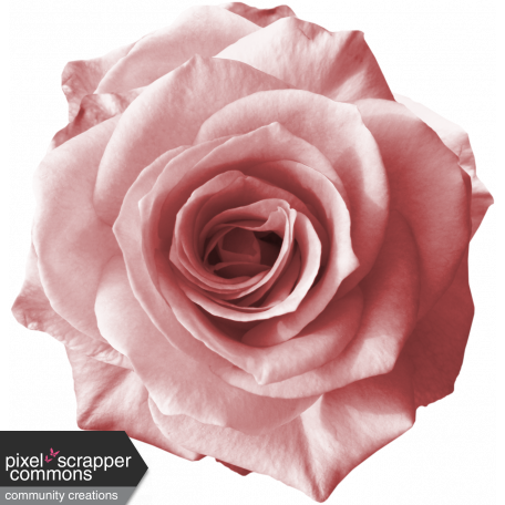 Light pink rose png. Rebel graphic by sunny