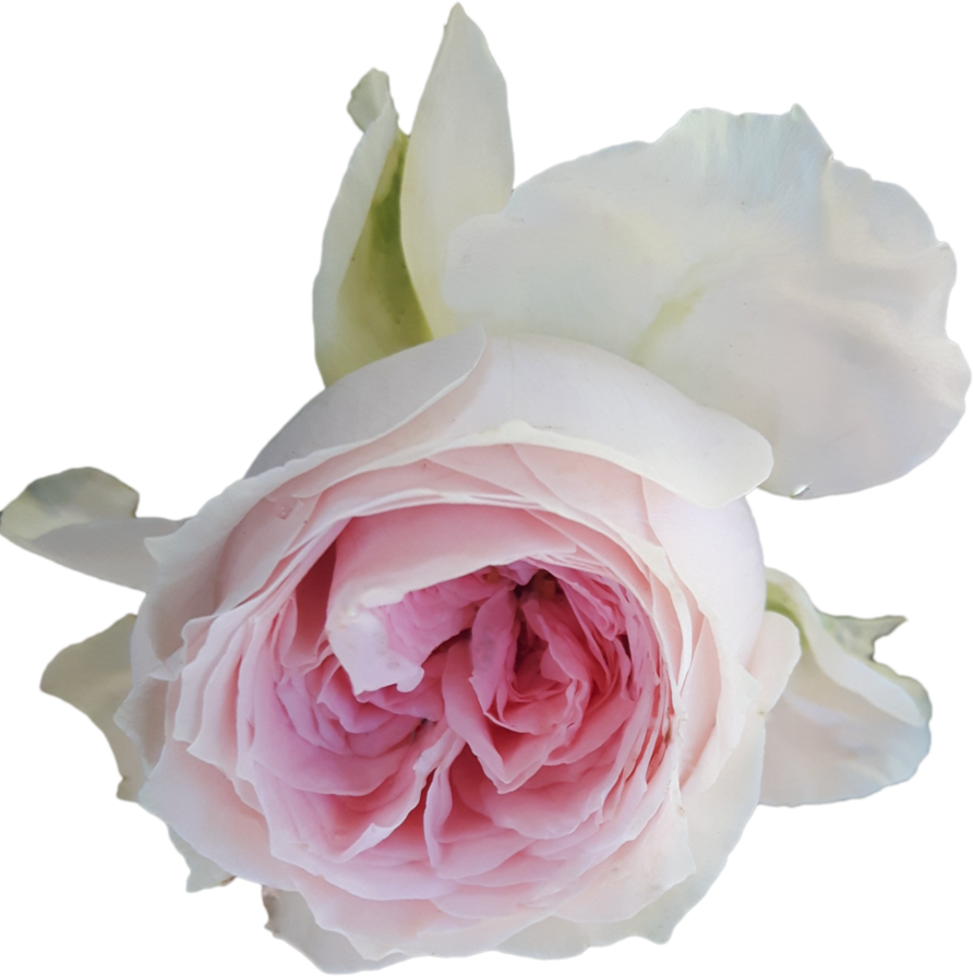 Light pink rose png. On transparent background by