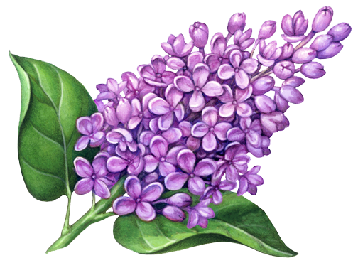 Lilac flower png. Flowers pic