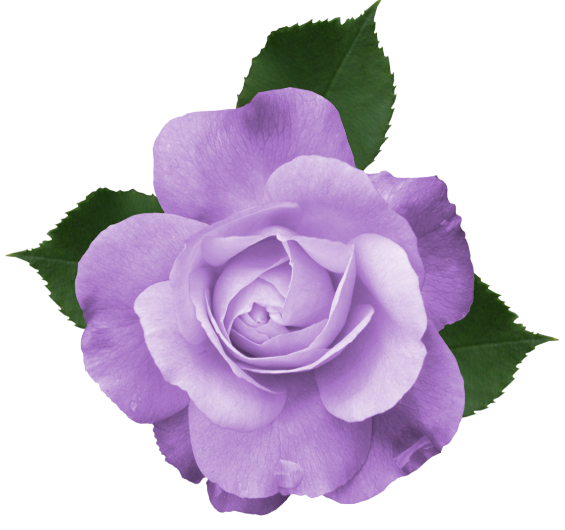 Purple rose png. Beautiful transparent lilac picture
