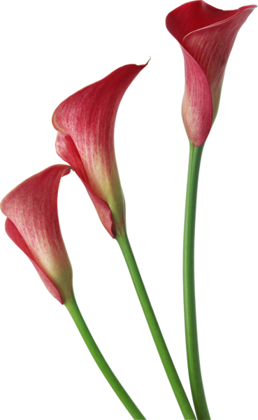 Lily transparent calla. Red lilies flowers clipart