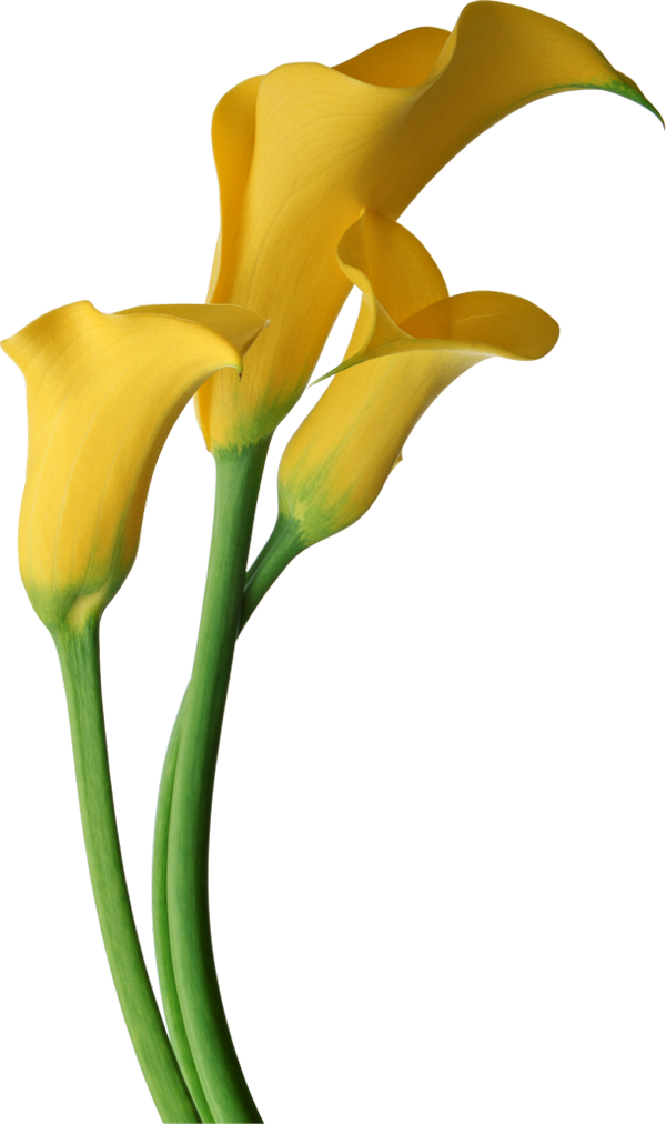 Lily transparent yellow. Free lilies art download