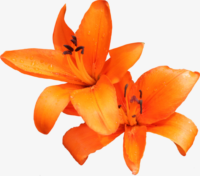 Lily clipart orange lily. Flower real png image