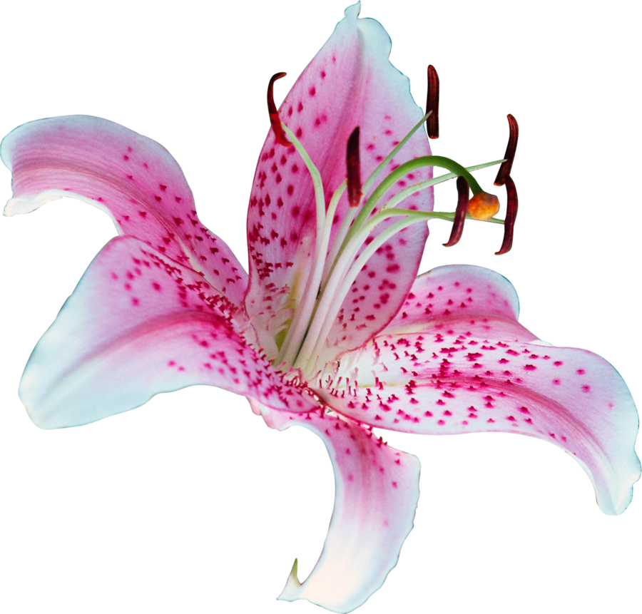 Pink lily png. Unrestricted flower by frozenstocks