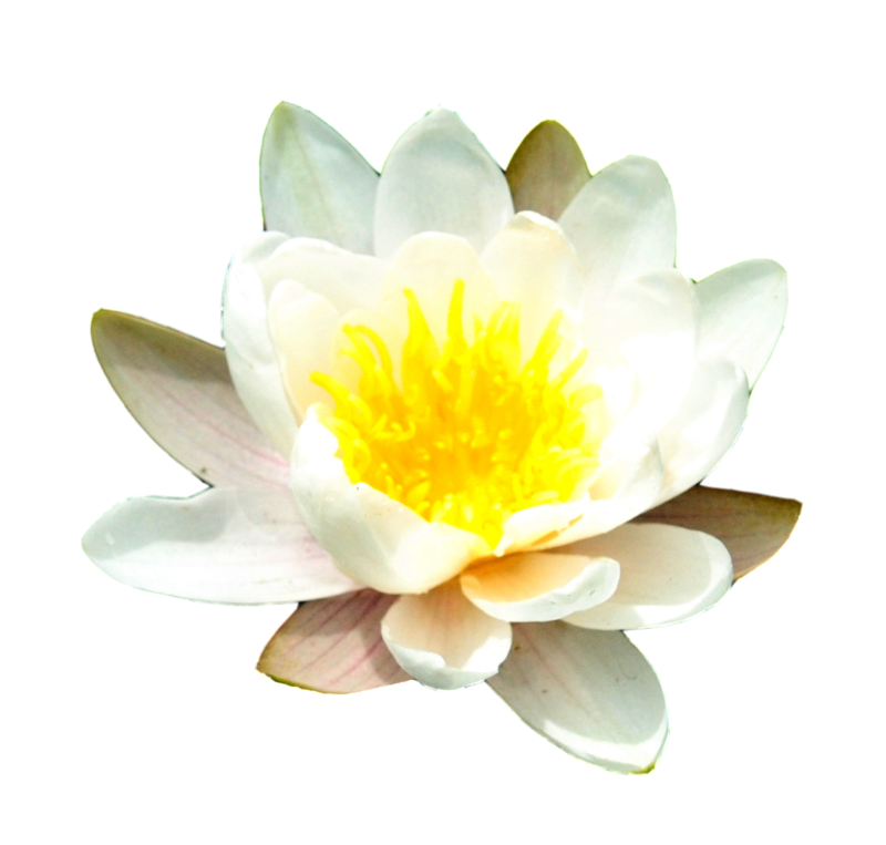 Lily transparent yellow. Download free png water