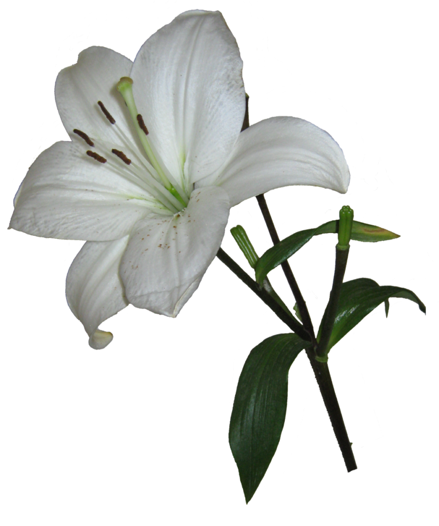 Lily transparent background. Png photos peoplepng com