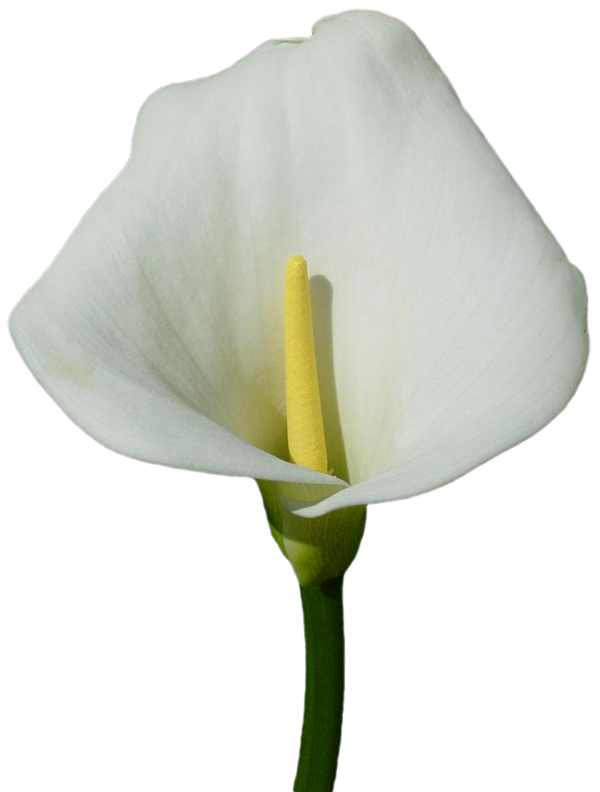 Lily transparent calla. Large png clipart gallery