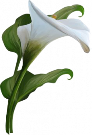 Lily transparent calla. Callalily png images free