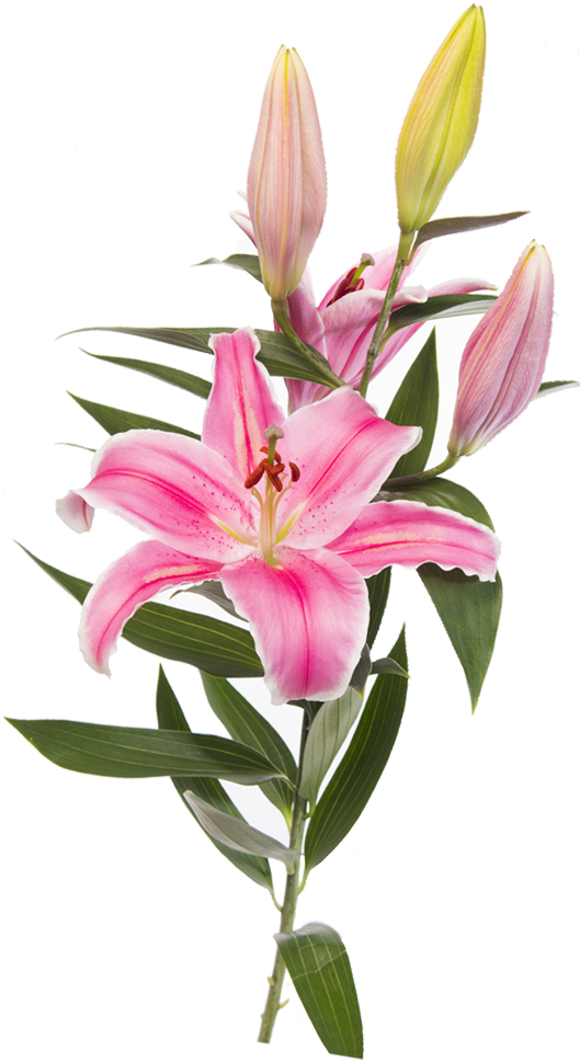 Lily transparent lillies. Lilies planet flower many
