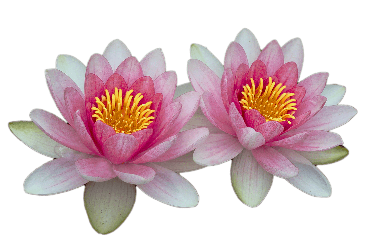 Lily transparent white water. Lilies png stickpng