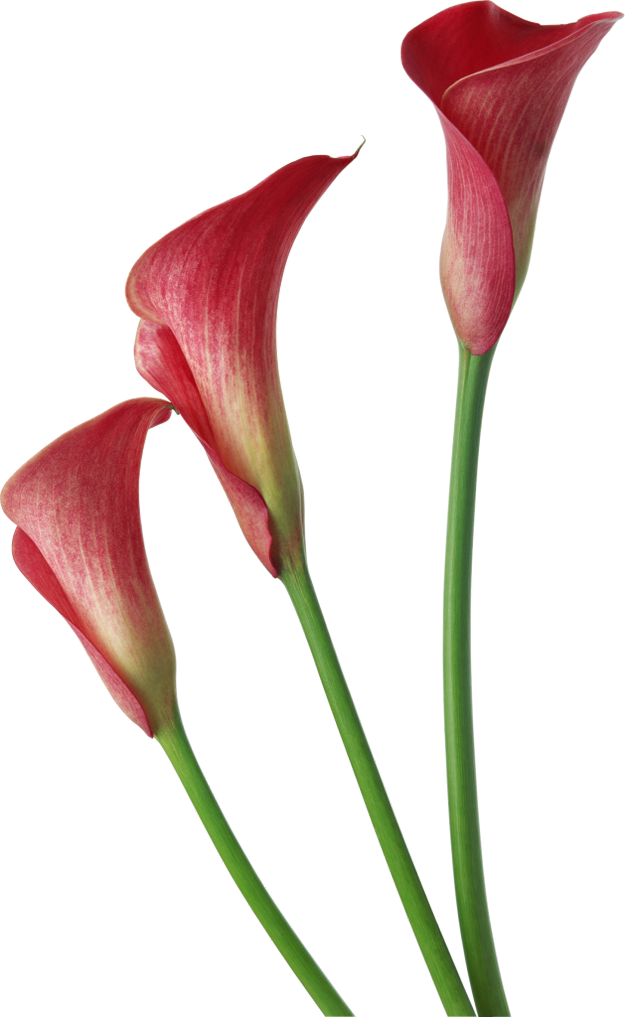 Lily transparent red. Calla lilies flowers clipart