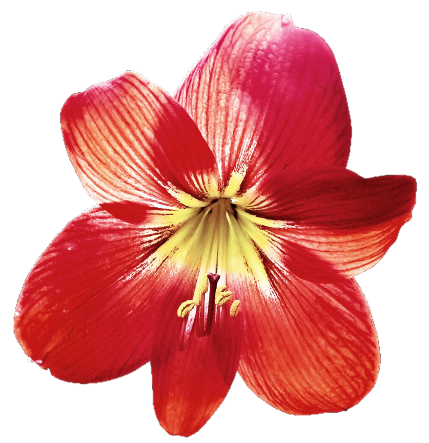 Lily transparent red. By jeanicebartzen on deviantart