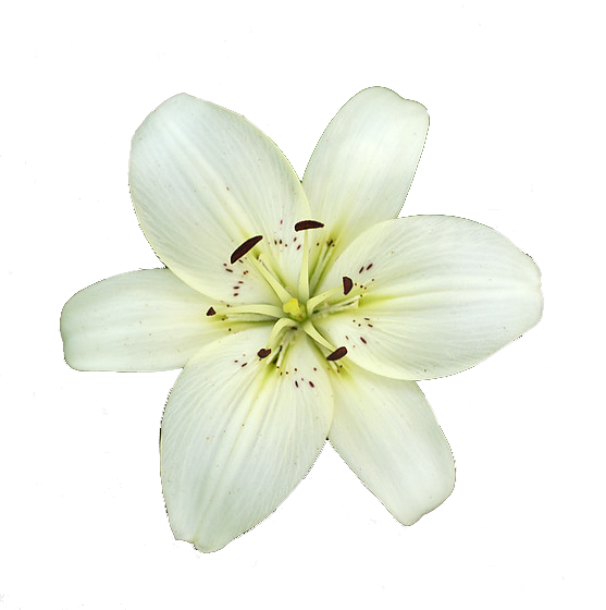 Lily transparent white. Working with images kaitlyn