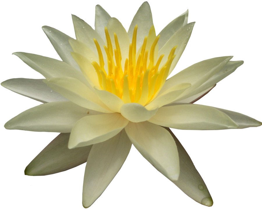 Lily transparent white water. Free png images download