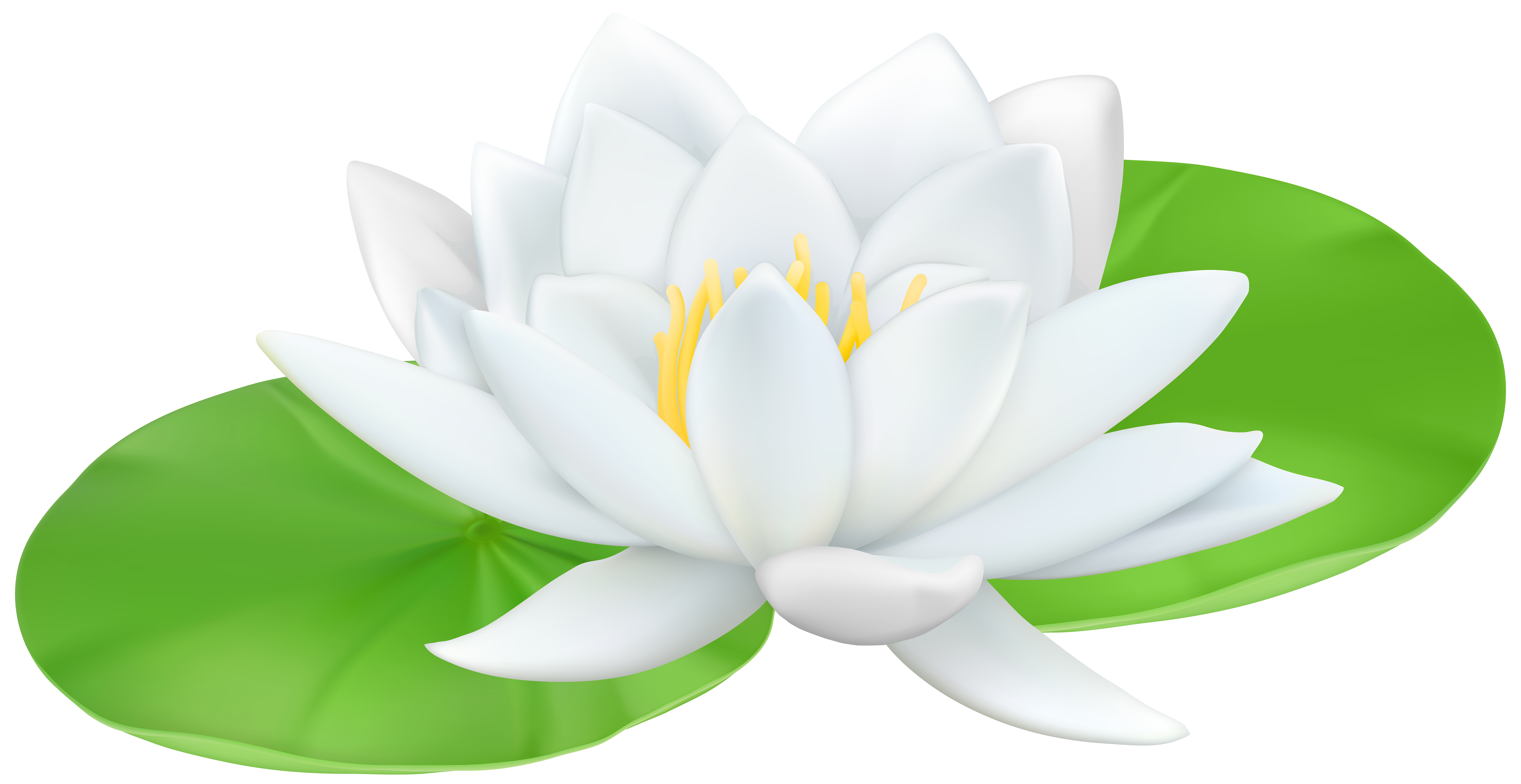 Lily transparent white water. Png clip art image