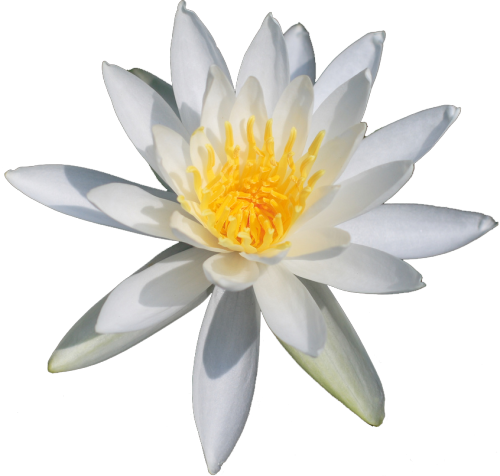 Lily transparent white water. Flowers nymphaea odorata transparentflowers