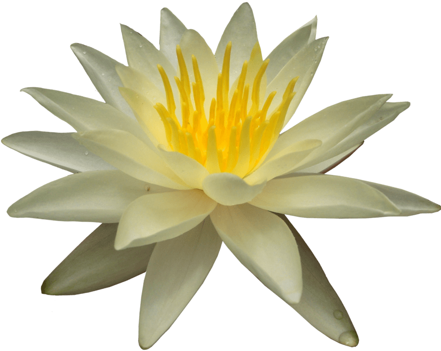 Lily transparent white water. Png stickpng