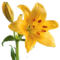 Lily transparent yellow. Flower index orlando wholesale