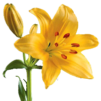 Lily transparent yellow. Flower index in bloom