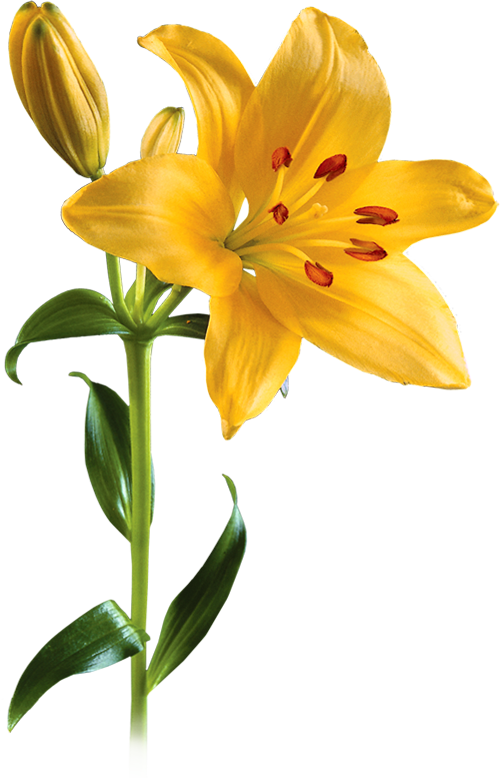 Lily transparent yellow. Png picture mart