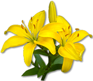 Lily transparent yellow. Logo img left png