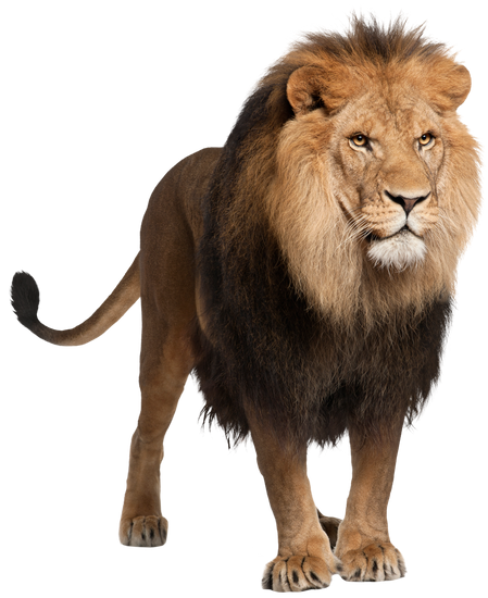 Lion. Free premium stock photos