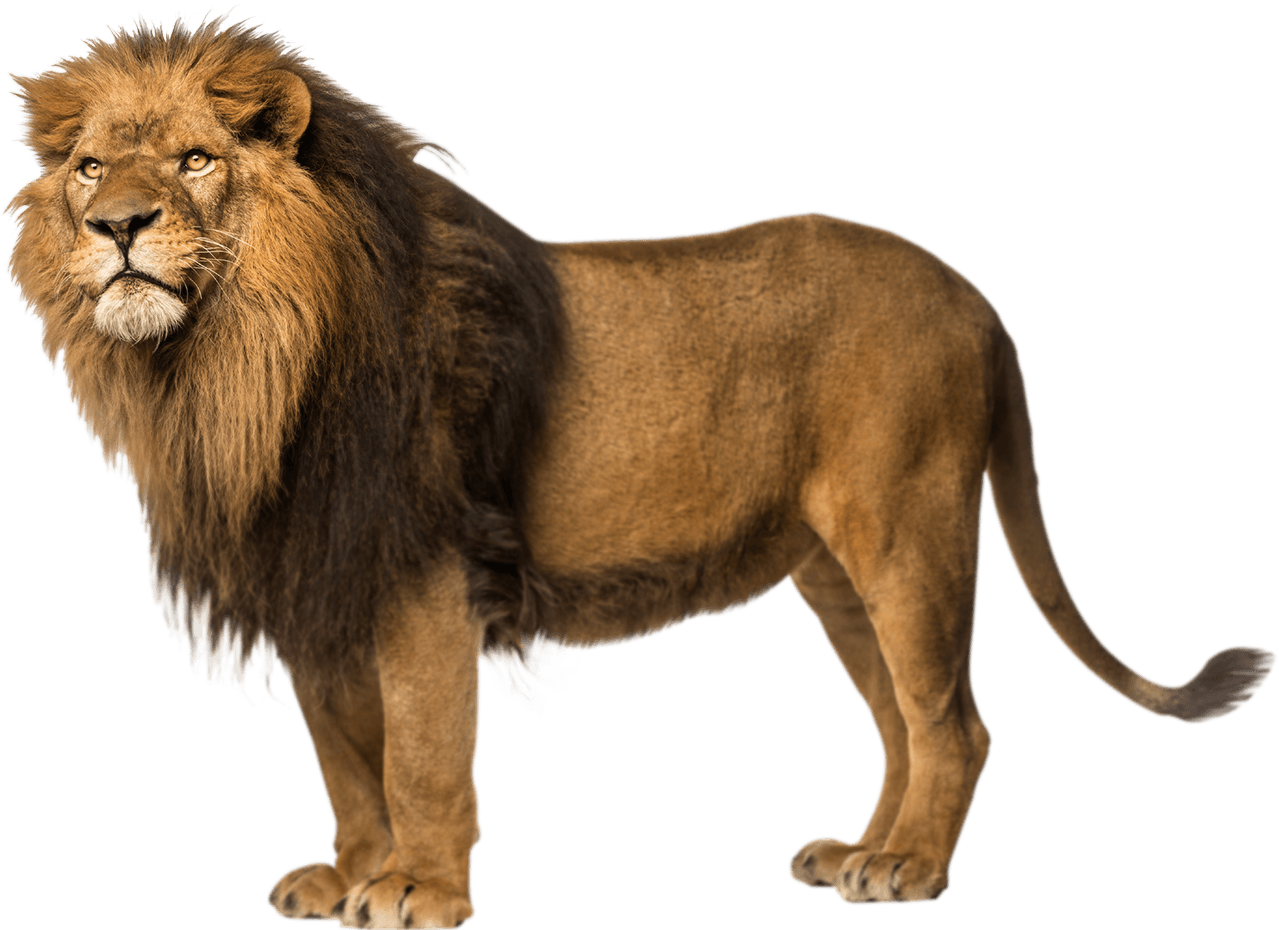 different types of. Drawing lions male lion banner transparent stock