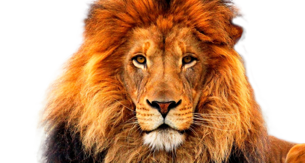 Lion face png. By xoxo on deviantart