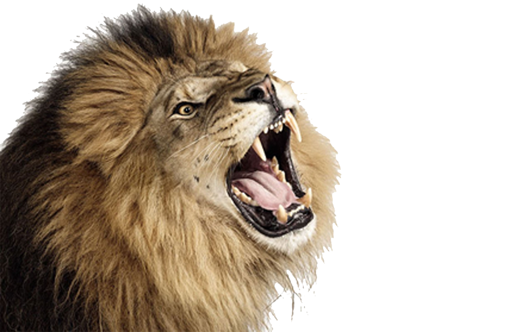Roaring tiger png. Lion photos mart