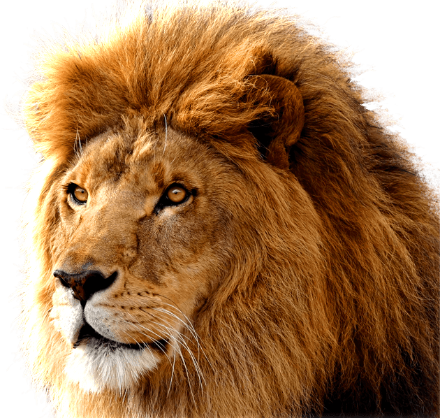 Lion head png. Large transparent stickpng