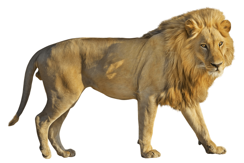 Lion png. Free images toppng transparent