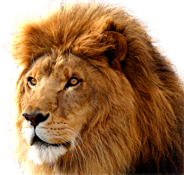 drawing lions barbary lion