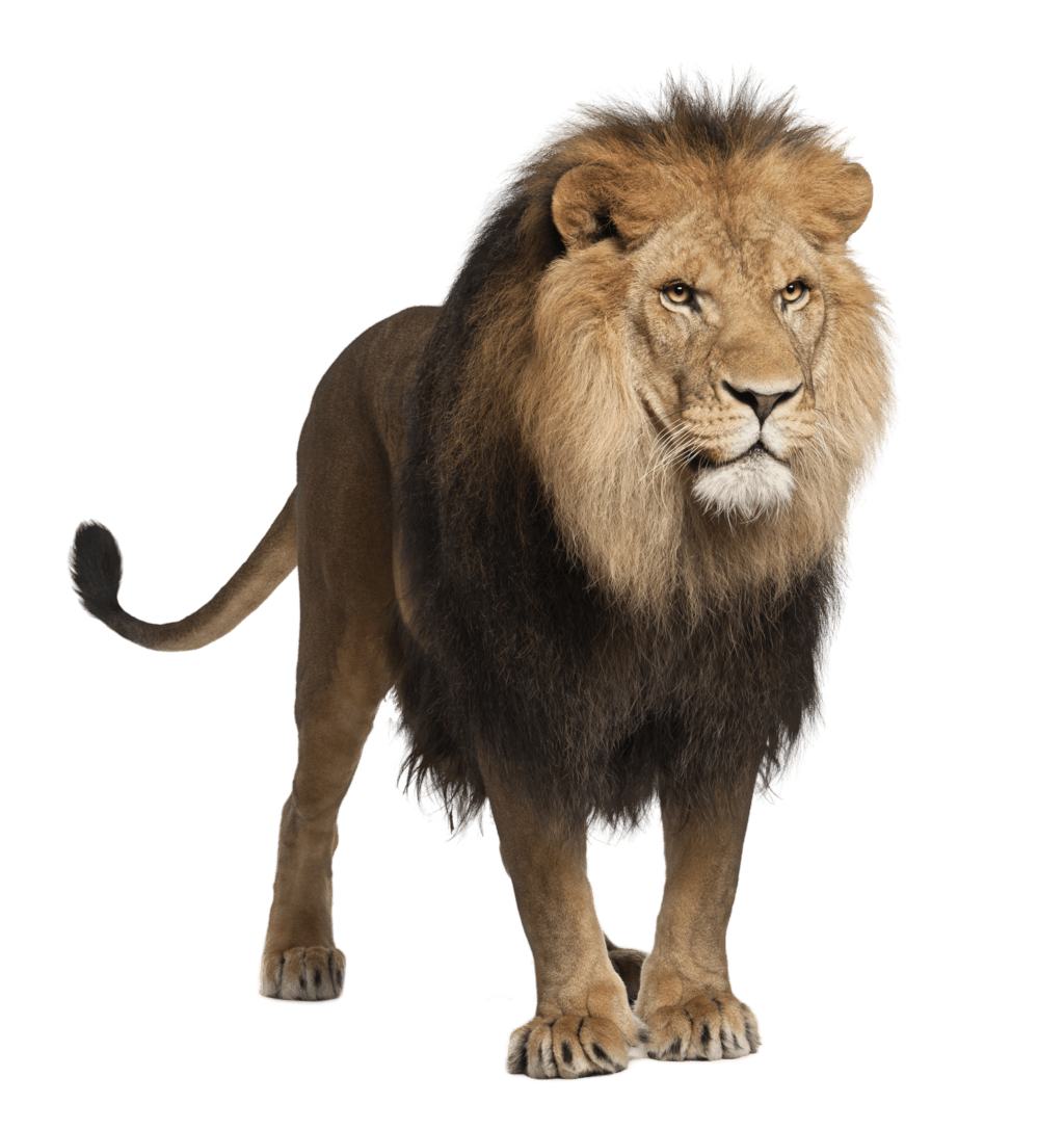 Drawing lions male lion. Standing transparent png stickpng