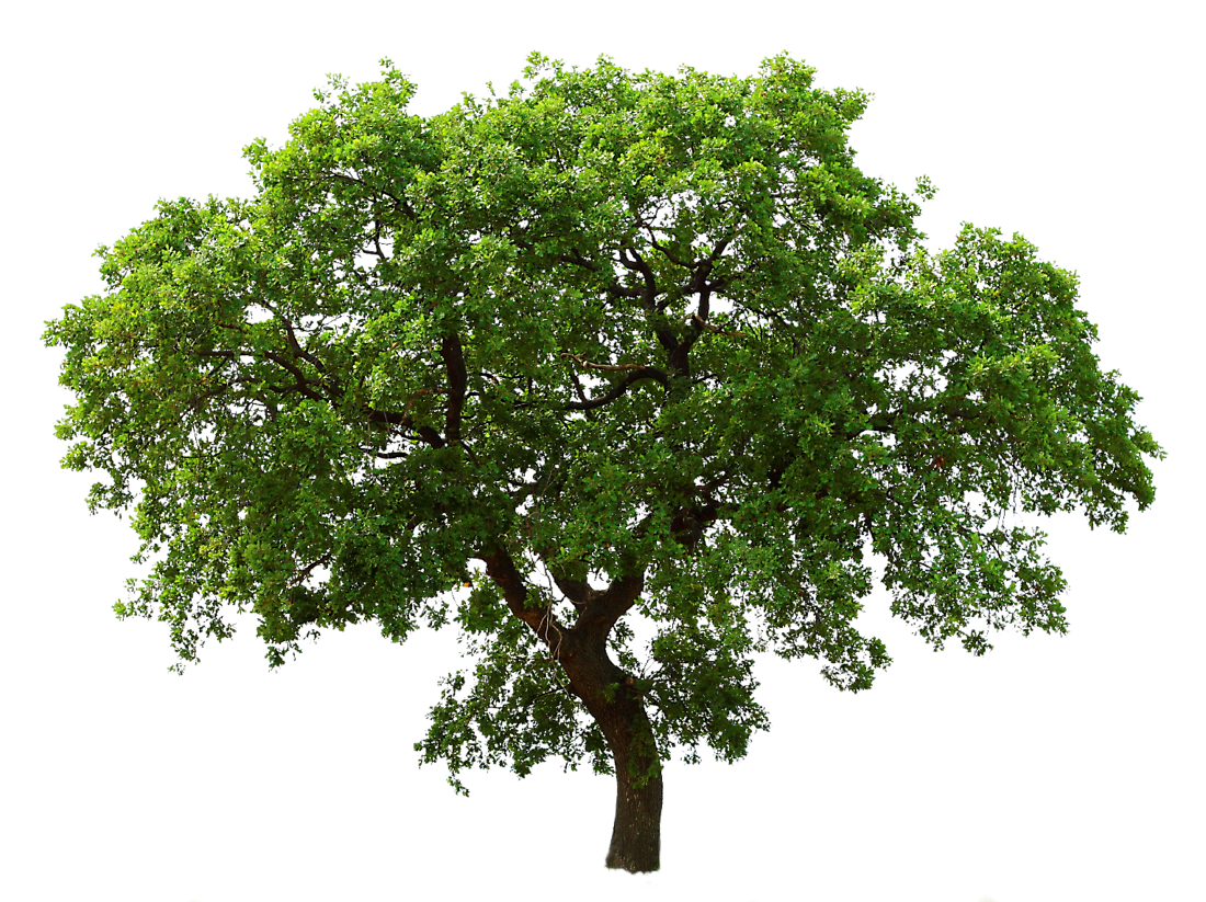 Live oak png. Images in collection page