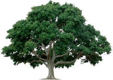 Live oak png. Tree