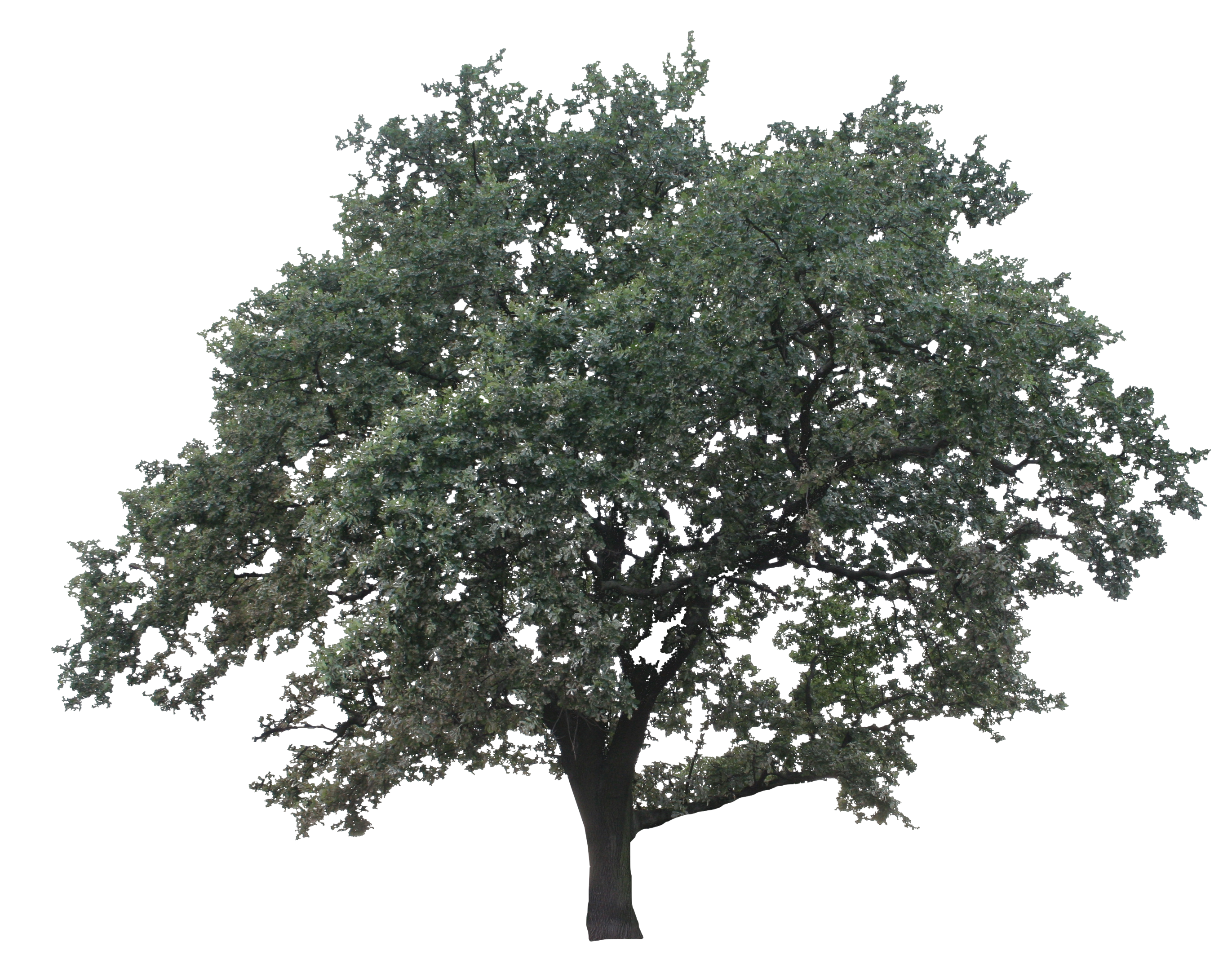 Live oak png. Big free cut out