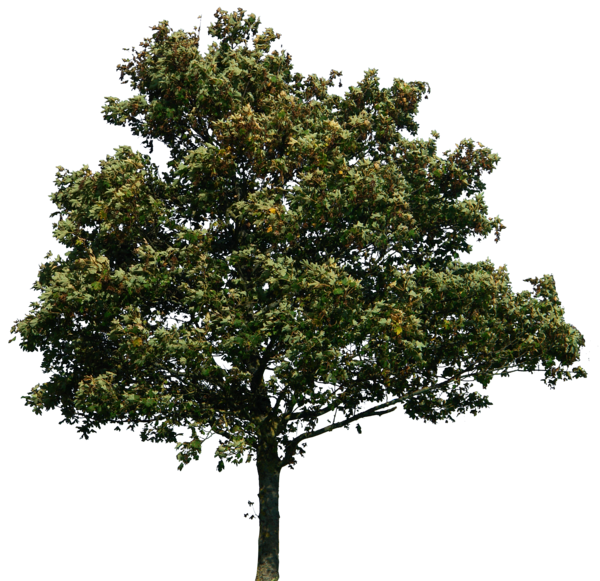 Live oak png. Tree by gd on