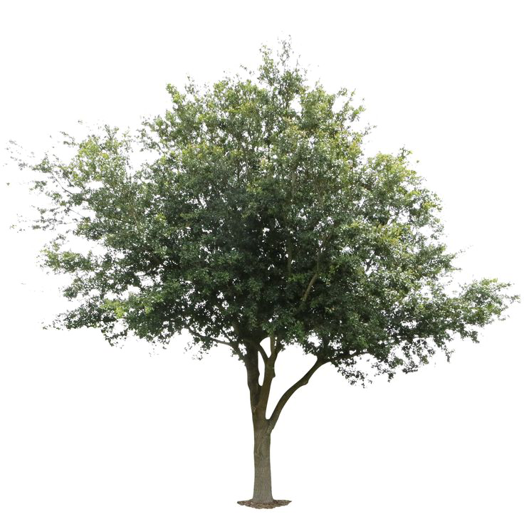 Live oak png. Tree image arts
