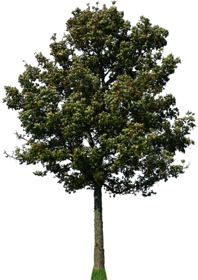 Maple tree png. By gd on deviantart