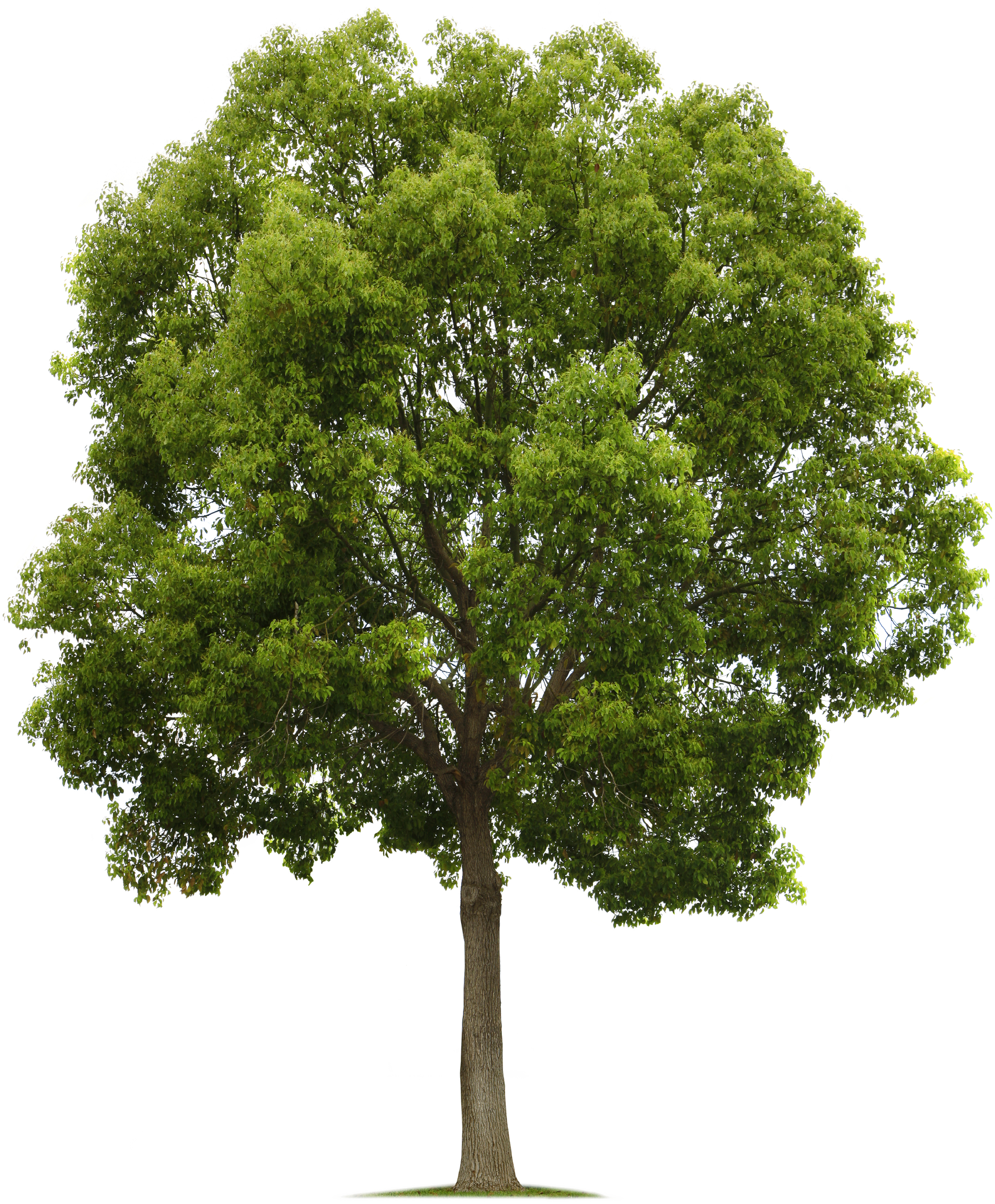 Live oak tree png. Pinterest photoshop architecture and