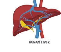Liver clipart. Free anatomy clip art