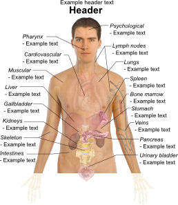 Liver clipart body clipart. Adult male diagram template