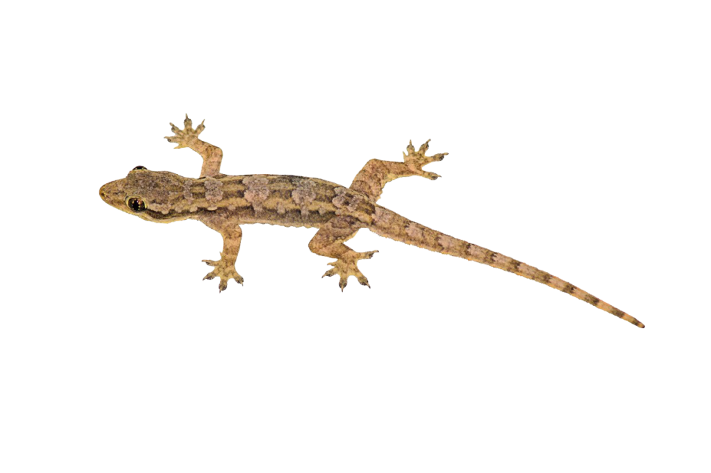 transparent gecko background