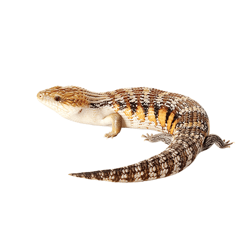 Lizard tongue png. Blue