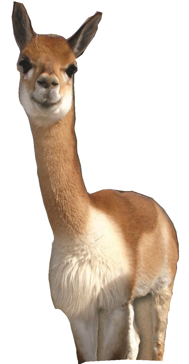 Llama animal png. Vicunas for sale jefferson