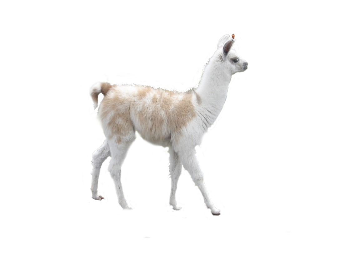 Llama background png. Alpaca camel desktop wallpaper