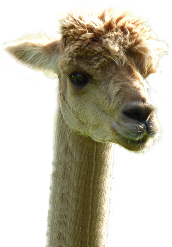 Llama head png. Alpaca barn luxury clothing