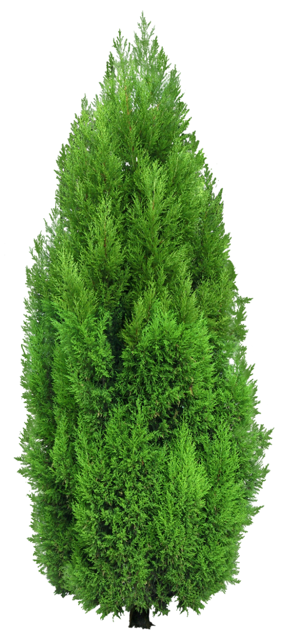 Long needle pine tree png. Cypress clipart render resources