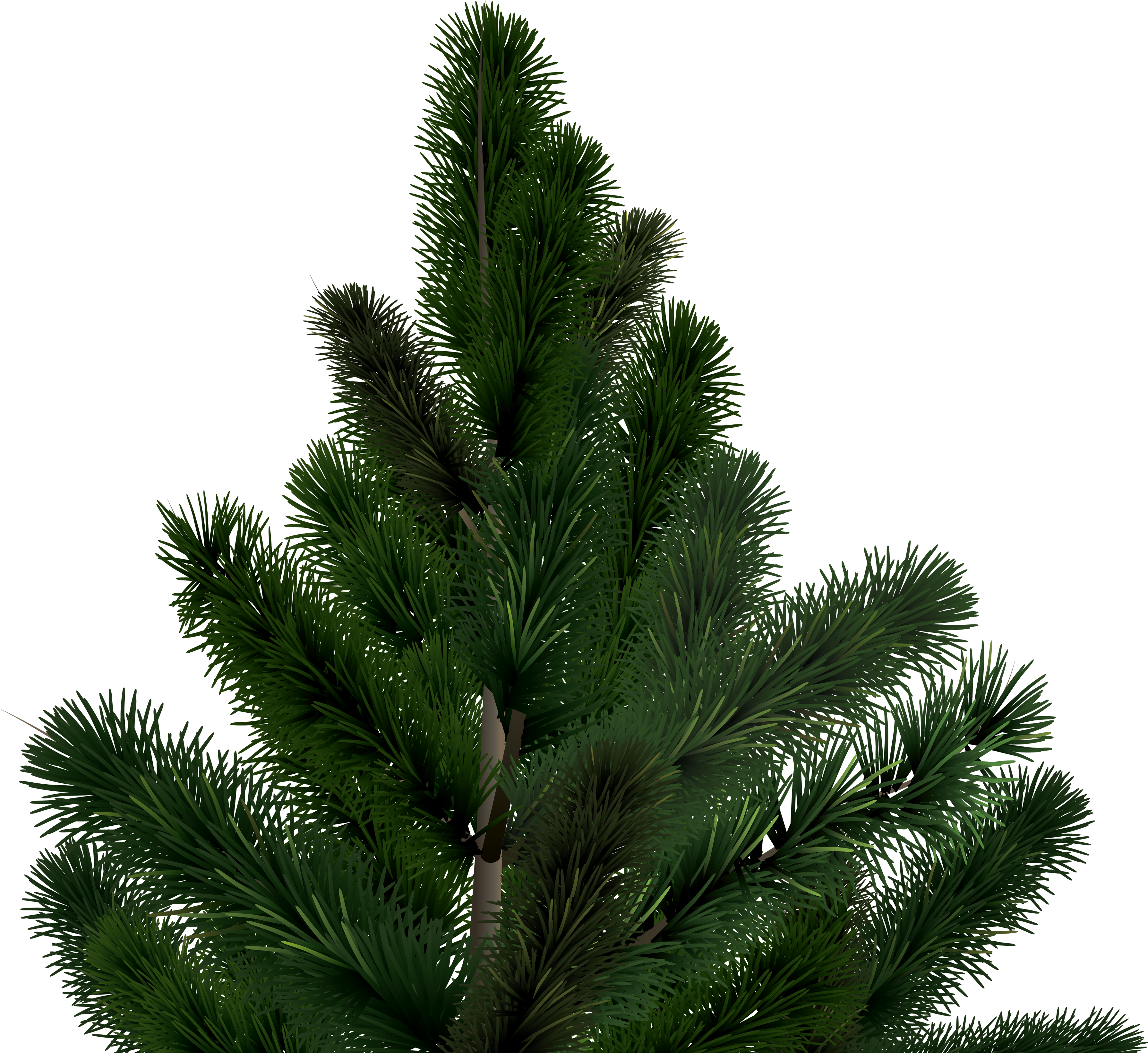 Long needle pine tree png. Fir image