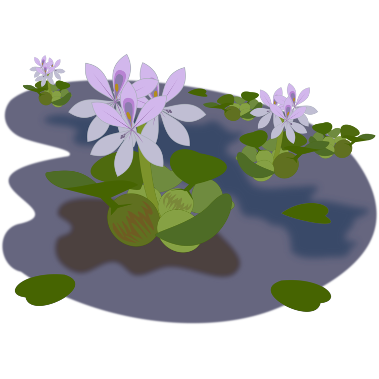 Vegetation drawing pond plant. Common water hyacinth aquatic